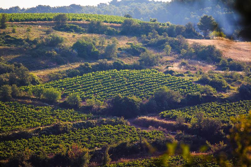 Domaine de Castelnau - Vignes en garrigues