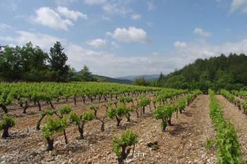 Mas Fabregous  ( Terrasses du Larzac) -Vignes