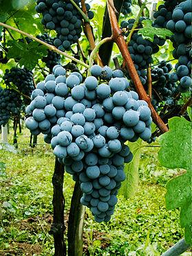 280px-carignan-grape.jpg