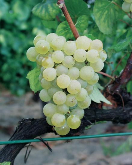 chardonnay-grappe.jpg