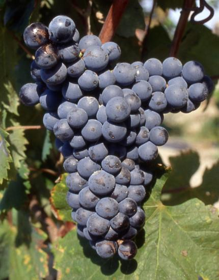 mourvedre-n-grappe-1.jpg